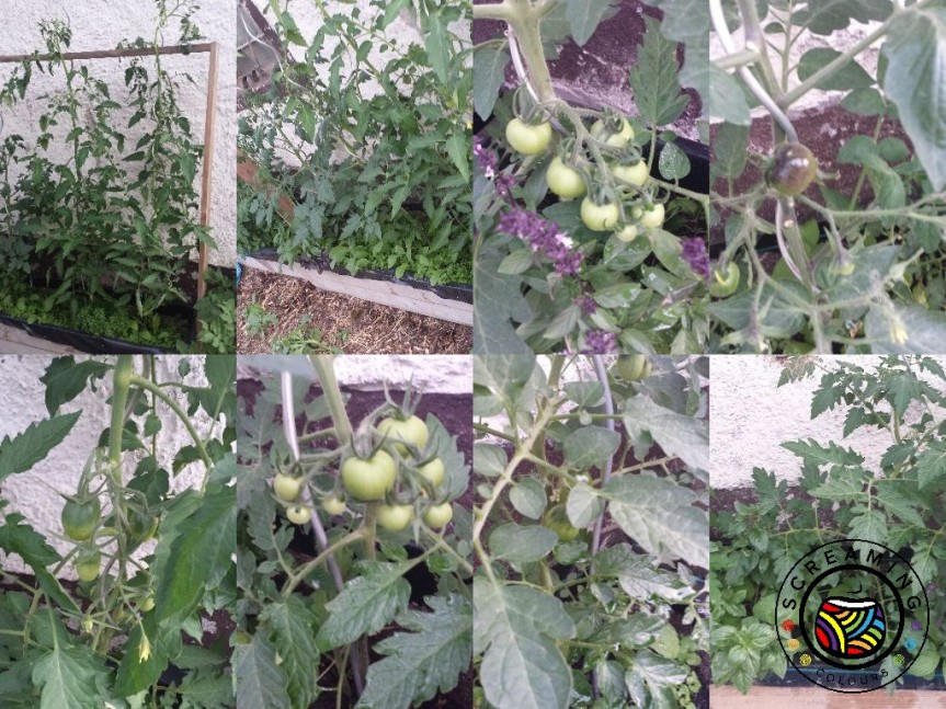 Collage Tomaten